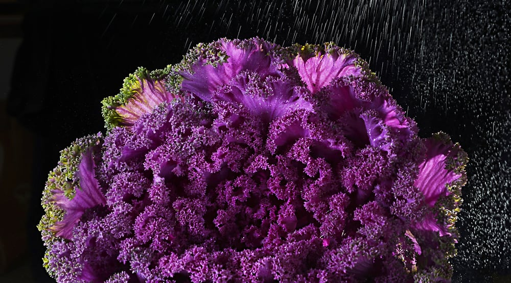Close up photo of a head of red cabbage on black background with water droplets splashing from the right Product Photography